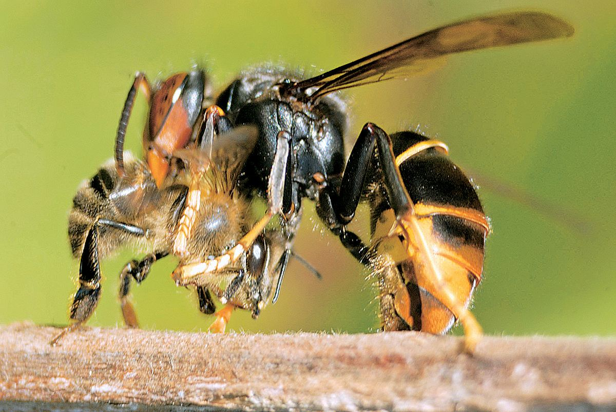 frelon qui tue les abeilles