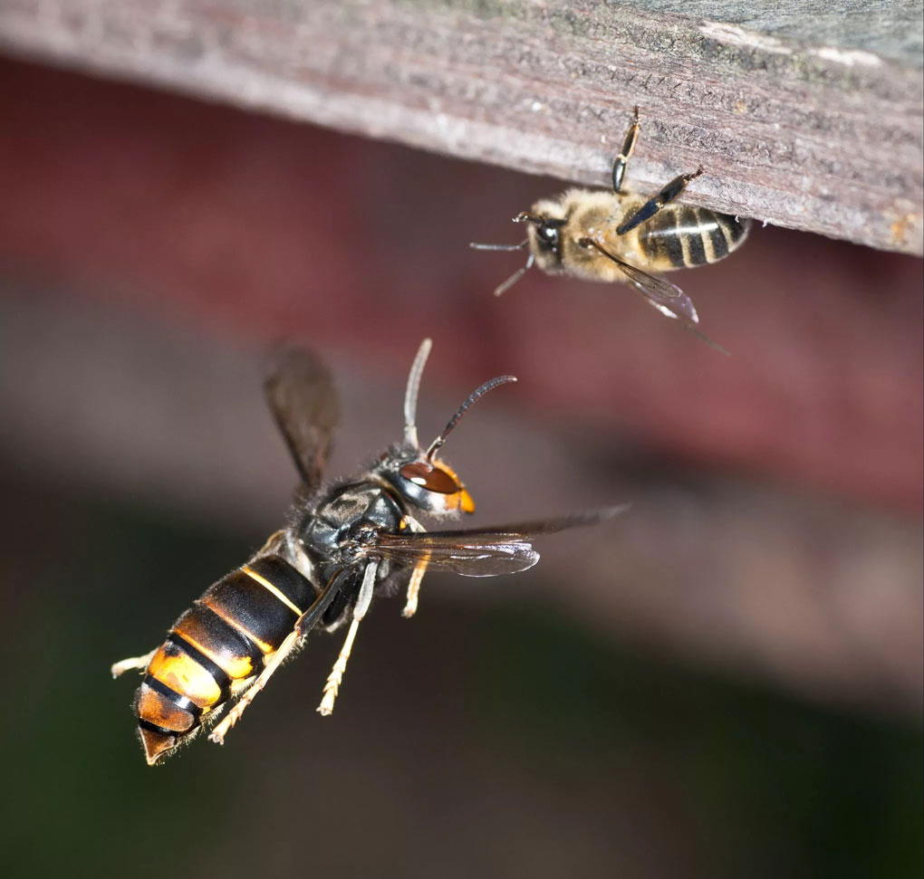 pourquoi le frelon tue les abeilles